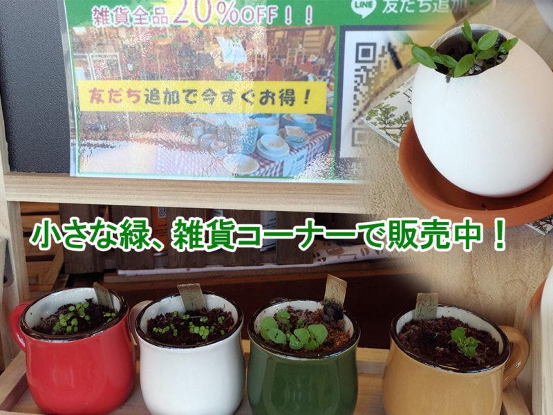 小さな緑、バジル、ミントが芽をだしました