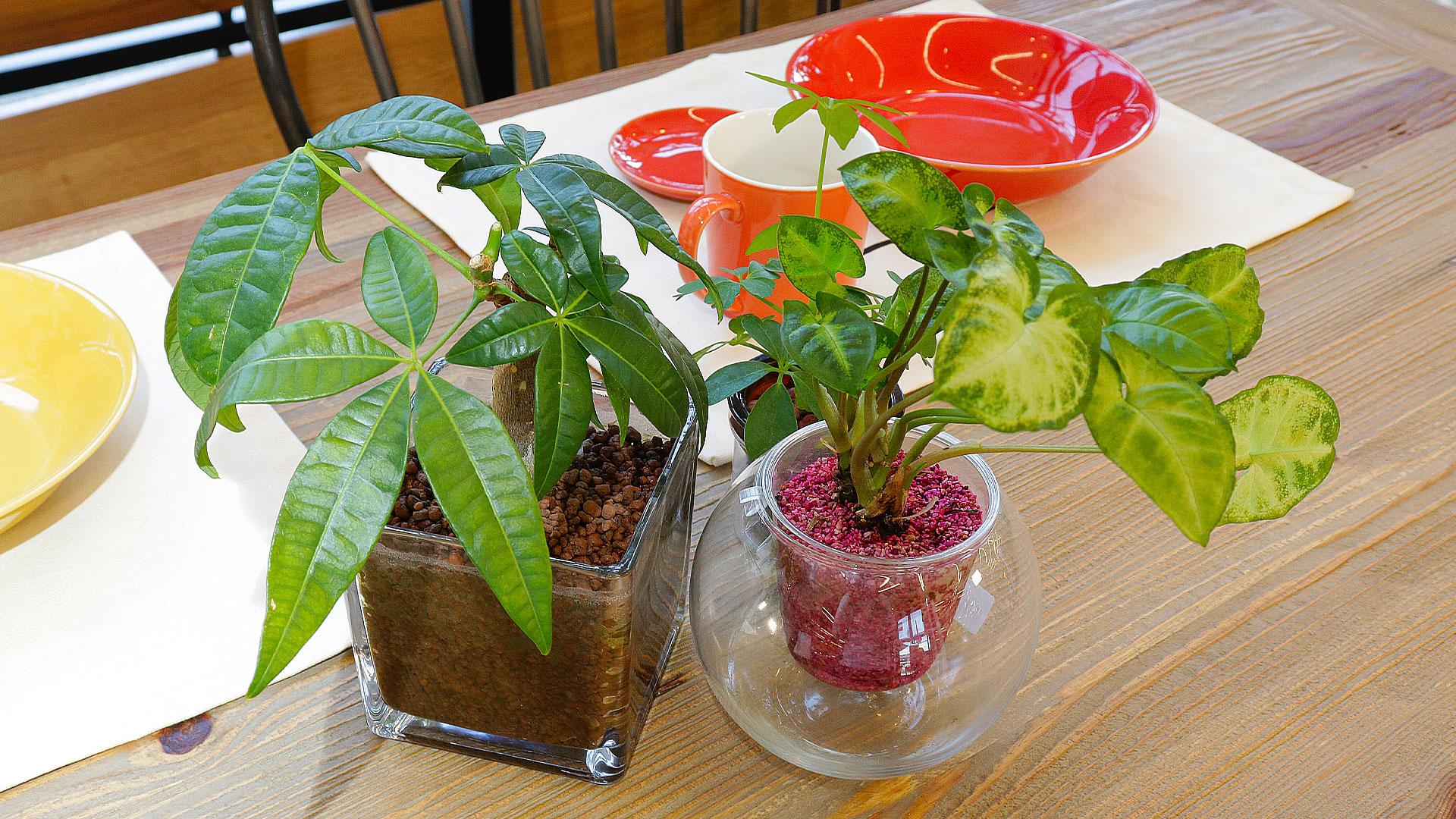 ハイドロカルチャーの観葉植物は清潔で食卓テーブルの上に置いても安心