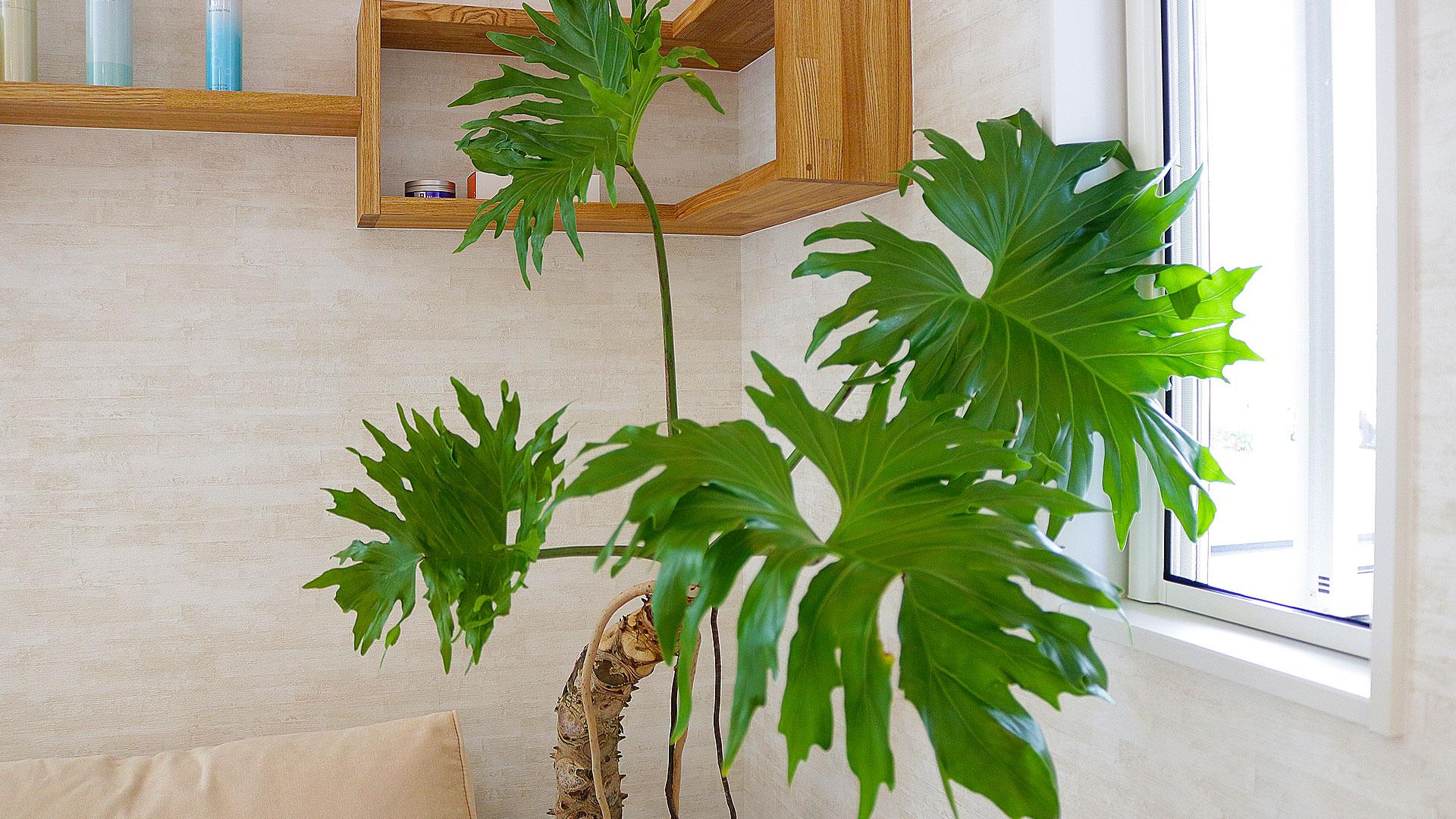 マイサカ家具の観葉植物