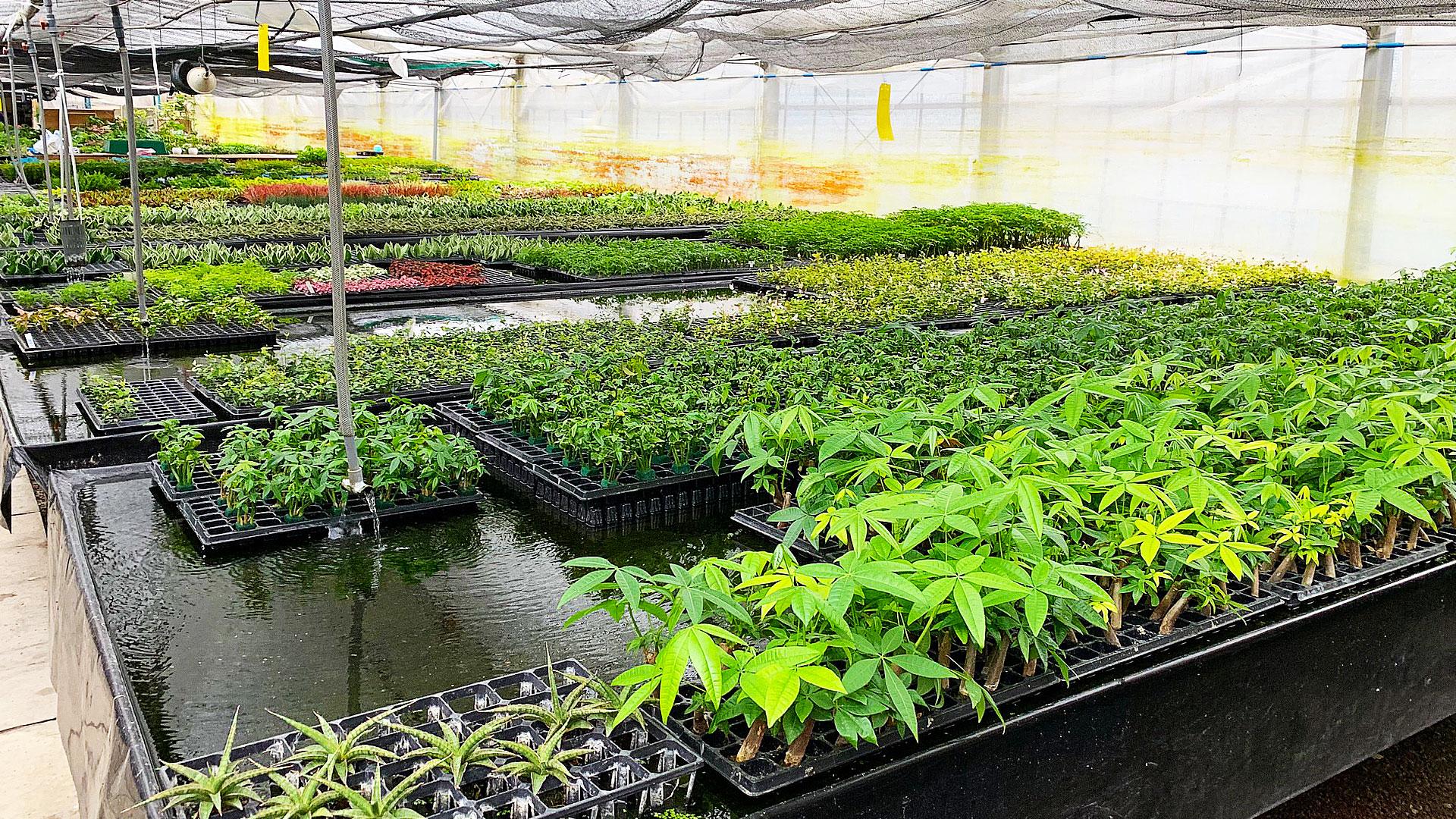 ハイドロカルチャーの水耕栽培の様子