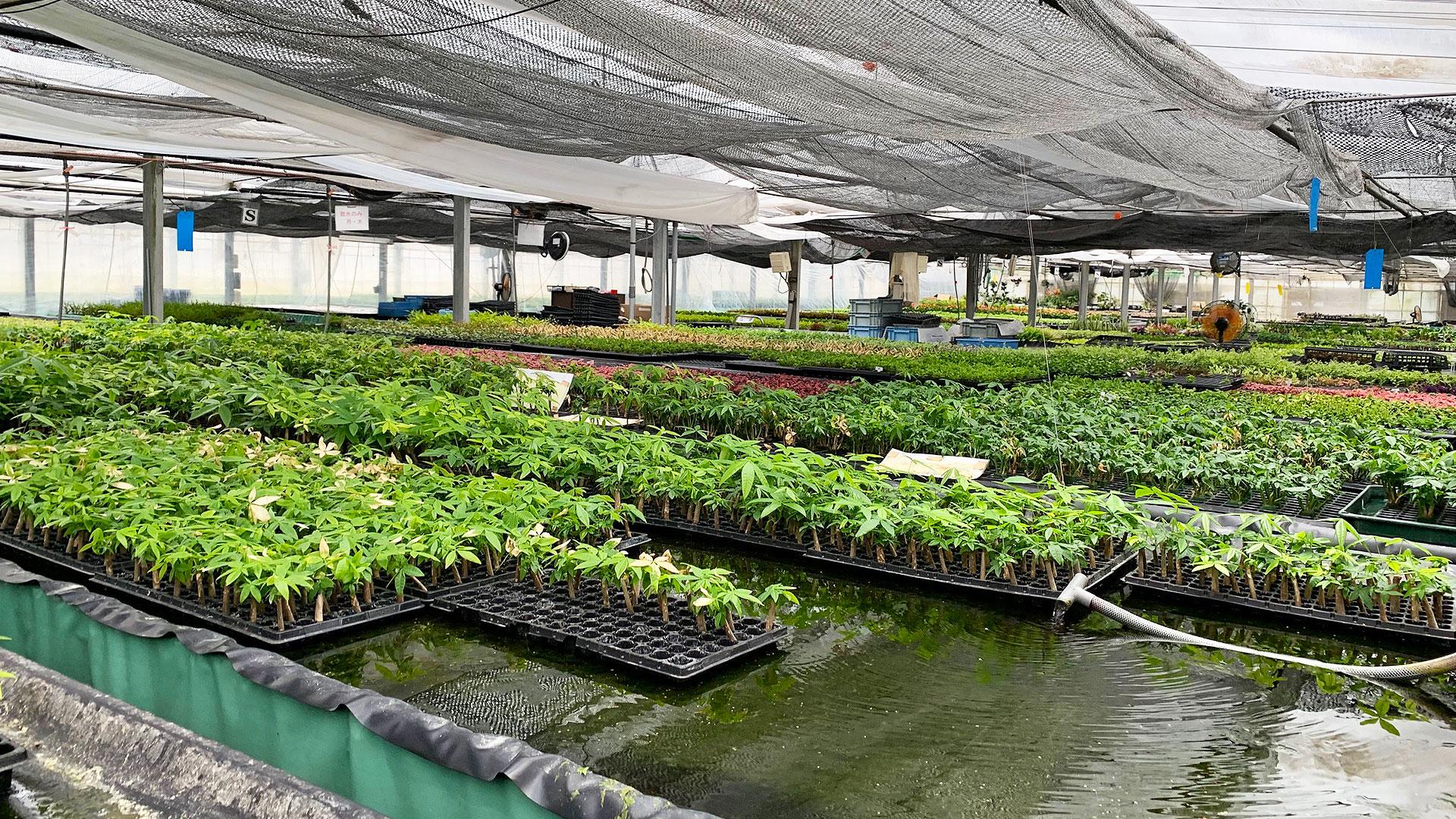 水耕栽培でのインテリアグリーン