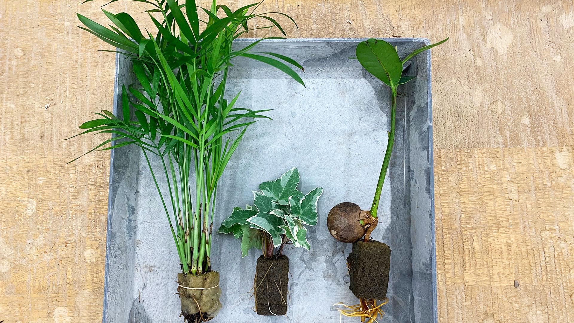 苔玉作りに使う小さい苗。画像は水耕栽培で育った苗
