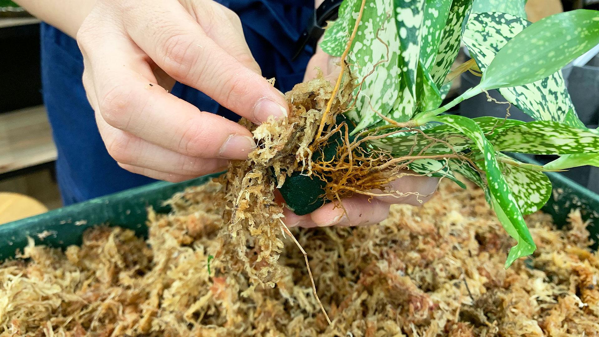 苔玉作りの2番目。苗の回りに水苔を巻き付けて苗を固定する画像