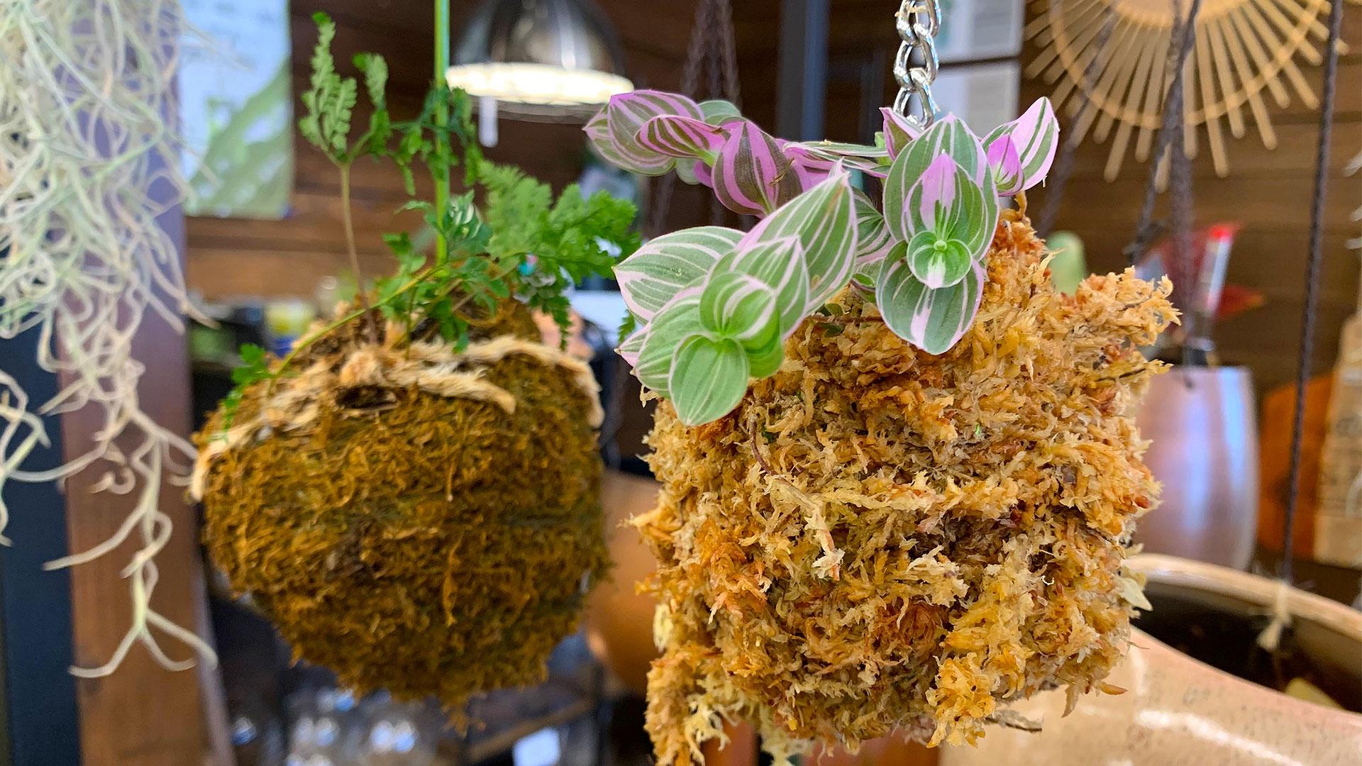 マイサカ家具のワークショップ、手作りの吊り下げ用ハンギングタイプの苔玉