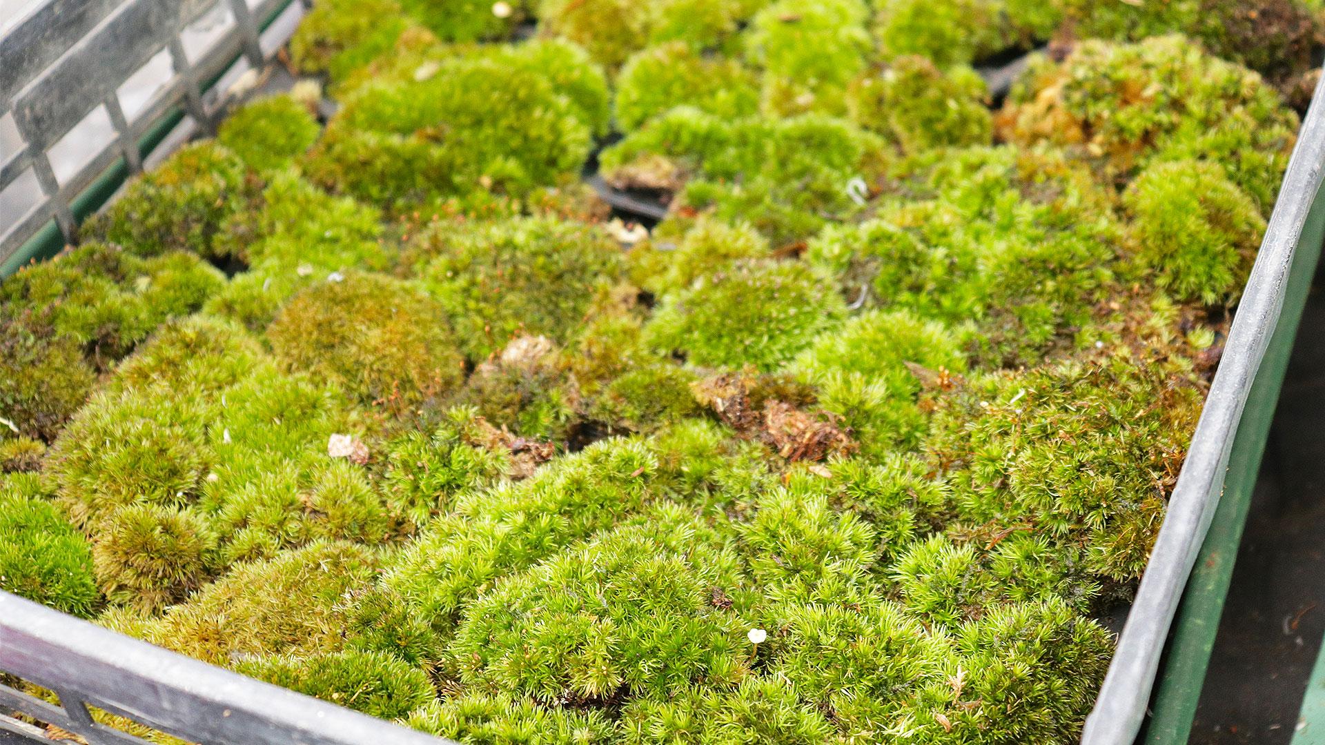 苔玉作りの使う苔の画像
