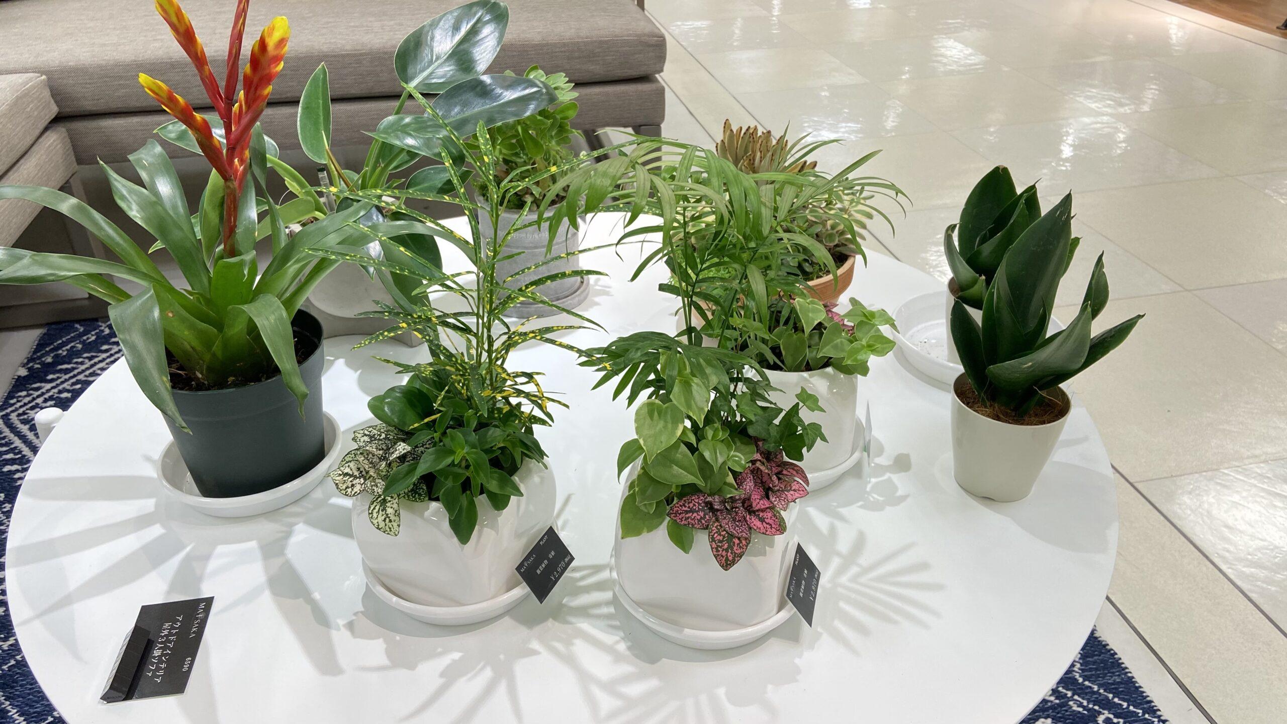 松坂屋静岡店で展示している観葉植物の様子。