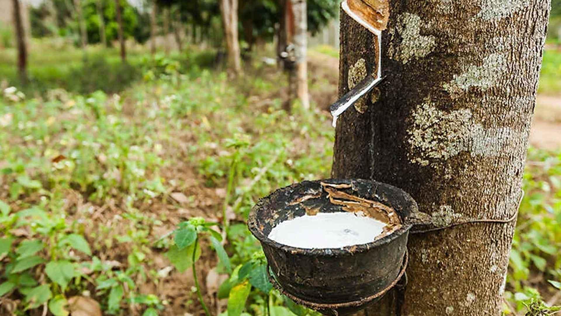 ノンコイルマットレスの素材ゴムの木の画像